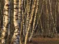 Birken in der Heide 2012 (Foto:A.Leu)