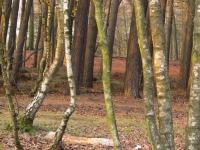 Stämme in der  Westruper Heide