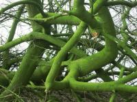Baumformation in der Nähe von Holtwick, Foto: A.Leu