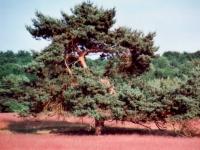 Kiefer in der Heide